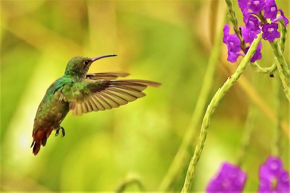 """02.08.2021      """"Es war eine Augenweide, den vielen verschiedenen Kolibris zuzuschauen. Von einigen gelang mir ein Schnappschuß.""""      Ort:Dschungelgebiet Corcovado, Costa Rica  Kamera: CANON EOS 700D; F/6.3 ; 1/2500 Sek. ; ISO-3200"""