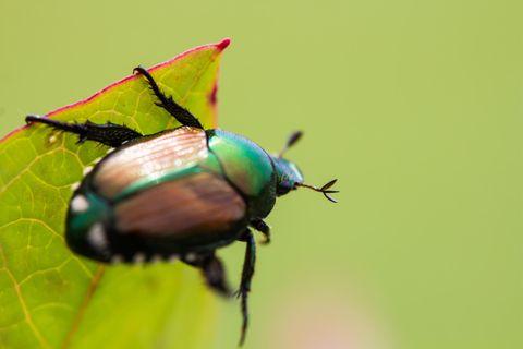 Sieht aus wie ein bunter Marienkäfer: der Japankäfer