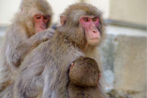 In Japan gibt es mehr als 100.000 wild lebende Makaken