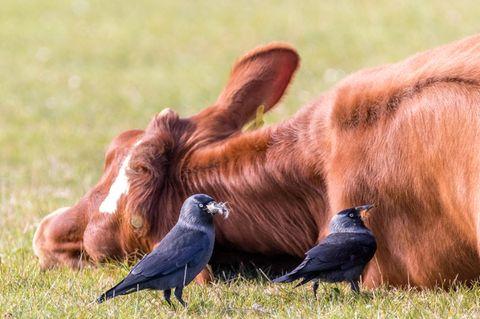 Dohlen nutzen den Verdauungsschlaf einer Kuh, um an Haare zu gelangen