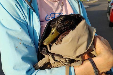 Eine Mitarbeiterin des Tierschutzvereins Wachtberg hält eine zusammengekauerte Ente auf dem Arm