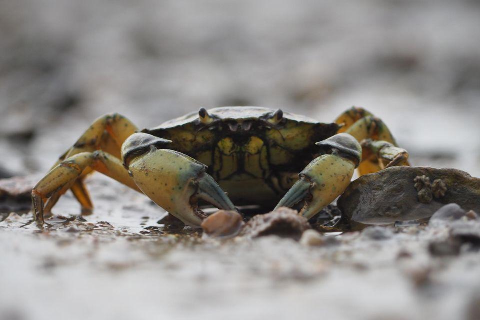 Ein kleiner Krebs im Wattenmeer
