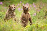Kodiak Bärenkinder auf Kodiak Island
