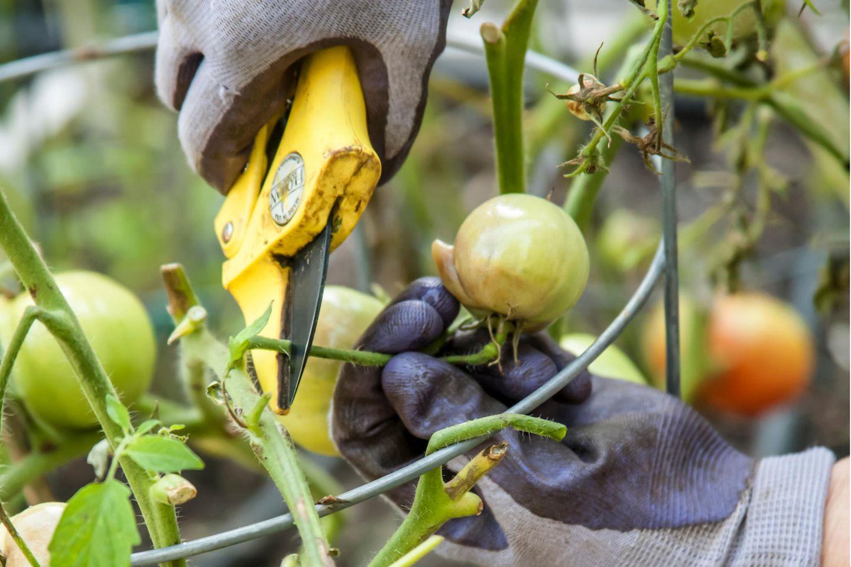 Ein Gärtner schneidet mit Braunfäule infizierte Tomaten von einer Pflanze ab