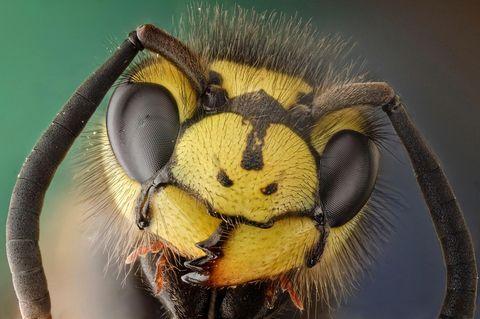 Die Deutsche Wespe ist neben der Gemeinen Wespe die häufigste Wespenart Mitteleuropas. Zu erkennen ist sie an den drei schwarzen Punkten auf ihrem Kopf