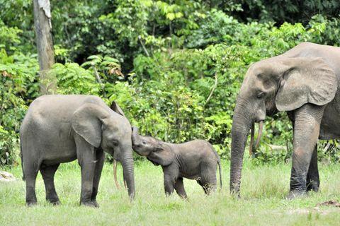 Waldelefanten-Familie im Dzanga-Sangha Tropenwald-Reservat der Zentralafrikanischen Republik