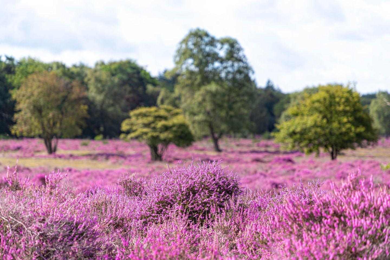Heideblüte in der Lüneburger Heide