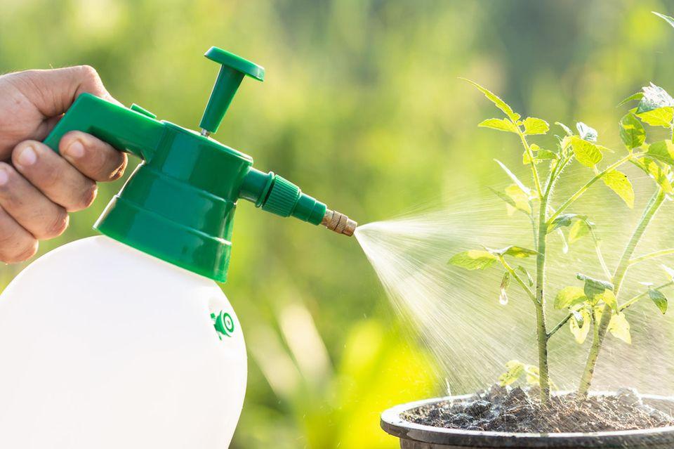 Essig wird mit einer Sprühflasche auf eine von Blattläusen befallene Pflanze gesprüht