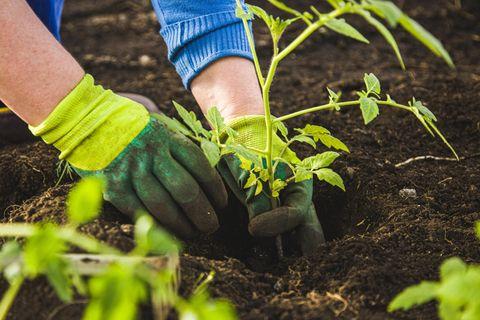 Frau mit Handschuhen pflanzt eine Tomatenpflanze ins Gemüsebeet