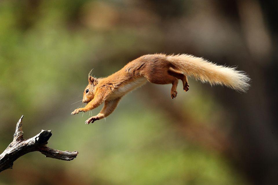 Eichhörnchen springt auf einen Ast