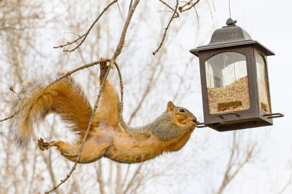 Akrobatisches Eichhörnchen am Vogelfutter-Haus