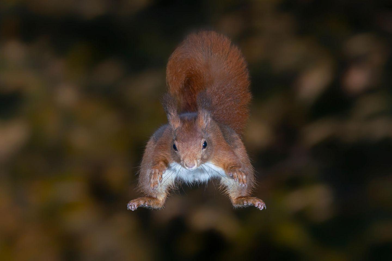 Eichhörnchen beim Sprung in der Luft