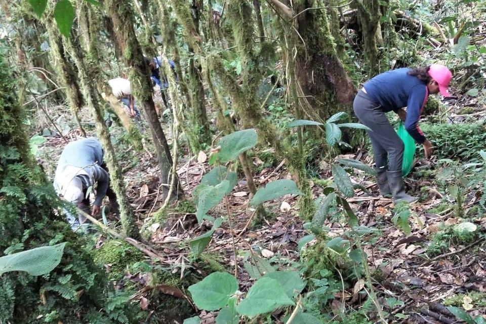 DerSamen für die heimischen Baumarten wird in nahen Waldgebieten gesammelt