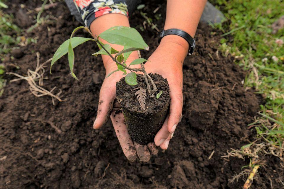 Frische Setzlinge heimischer Baumarten werden in Baumschulen vor Ort gezogen