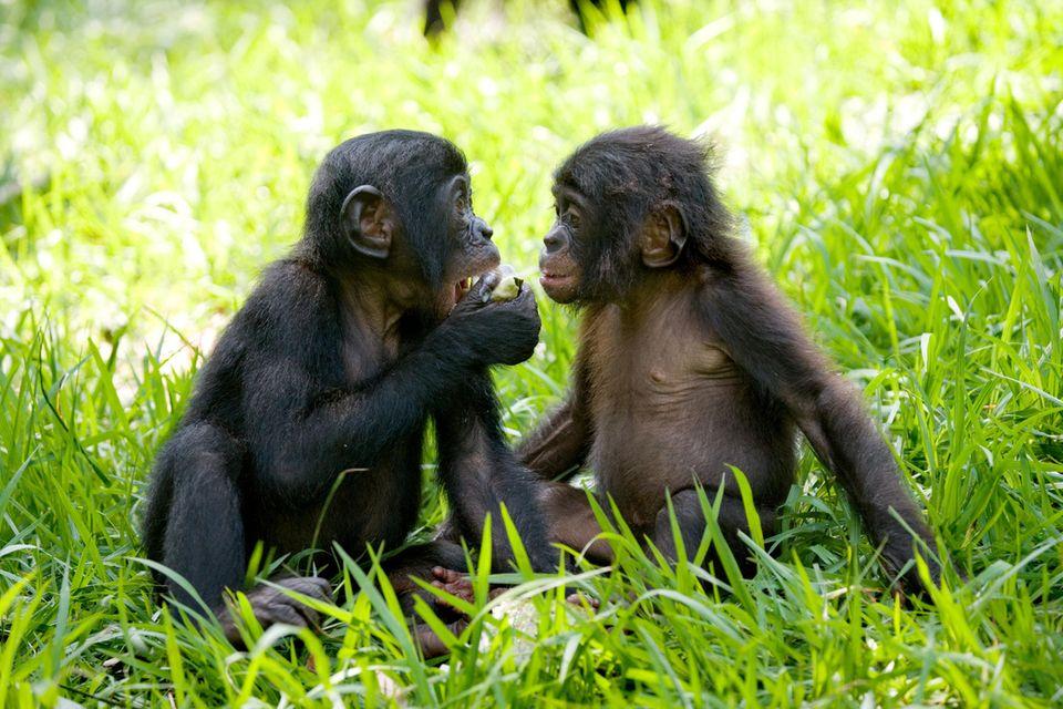 Hallo erst mal: Junge Bonobos in der Rettungsstation Lola ya Bonobo, Demokratische Republik Kongo