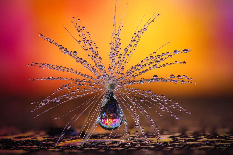 """Das Schirmchen einer Pusteblume - mit feinsten Wassertropfen benetzt - verwandelt sich in ein Fanatsie-Objekt. In Szene gesetzt hat dieses faszinierende Gebilde Petra Jung aus der Schweiz. Die Fotografin wurde Siegerin in der Kategorie """"Natur"""""""