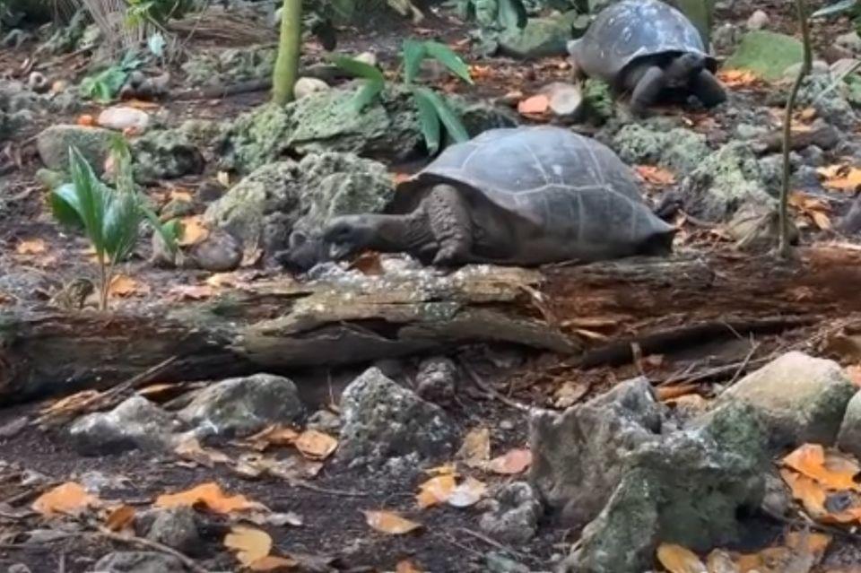 Eine Riesenschildkröte greift einen jungen Vogel an