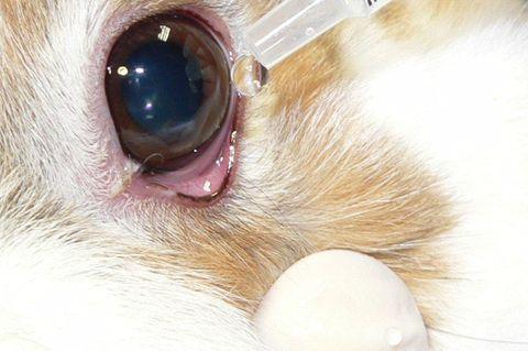 Beim sogenannten Draize-Test werden Kaninchen Chemikalien direkt in die Augen geträufelt. Nach Tagen wird der Grad der Verätzung abgelesen. Je nach Art und Dosis der Testchemikalien kann es zu schmerzhaften Entzündungen und Verätzungen der Augen kommen