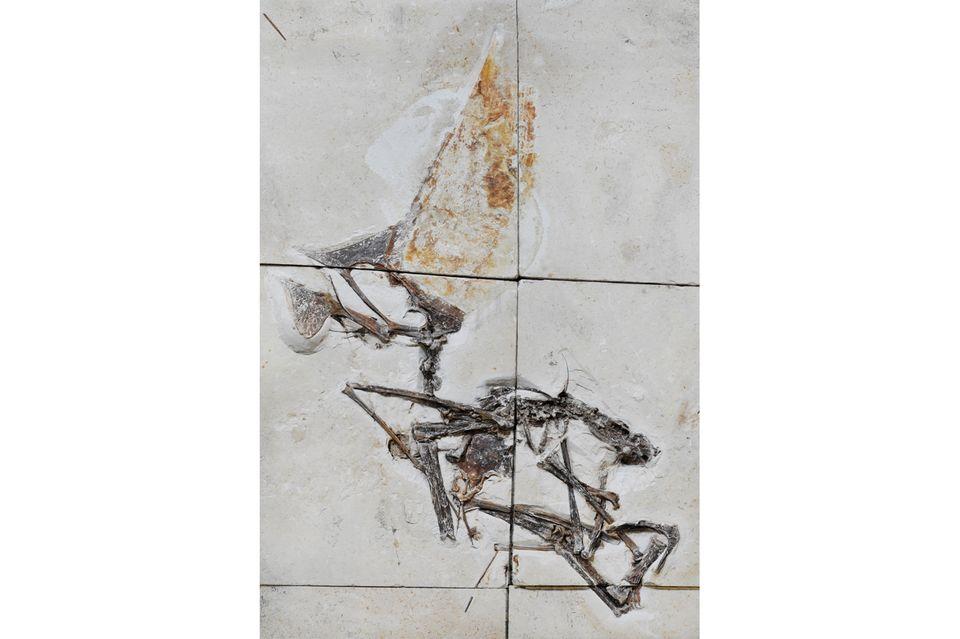 Fossil eines Pterosauriers der Art Tupandactylus navigans
