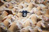 """25.08.2021      """"Schafherde im Bayerischen Wald. Das schwarze Schaf schien bemerkt zu haben, dass ich in seine Richtung fotografierte und posierte einen kleinen Augenblick für mich.""""      Kamera:Canon EOS 5D Mark IV Sigma 150-600mm  Mehr Fotos vonCarsten Meyerdierks"""
