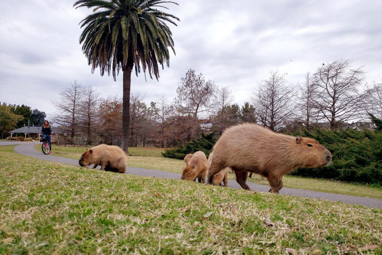 Wasserschweine im Luxuswohnviertel Norddelta