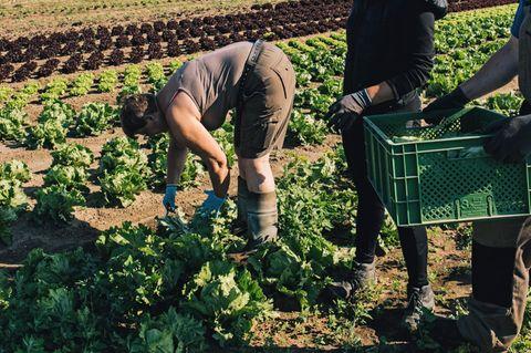 Ertragreich: Auch ohne chemische Pflanzenschutzmittel gedeiht der Kopfsalat