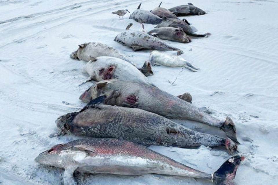 Gestrandete Schweinswale auf Ameland: Ist das Militär schuld?