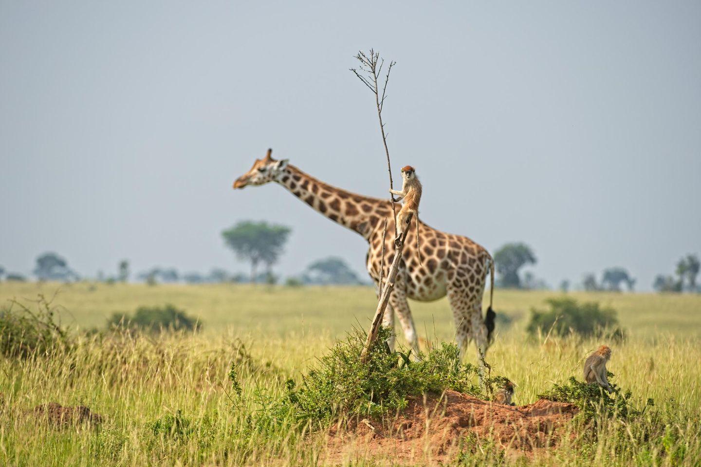 """""""Yee-haw!"""" – Wann sieht man schon mal einen Affen eine Giraffe reiten? Mindestens sehr selten wird hier wohl die Antwort lauten. Und auch diese Aufnahme entpuppt sich auf den zweiten Blick als Illusion – ein nahezu perfekter Schnappschuss"""
