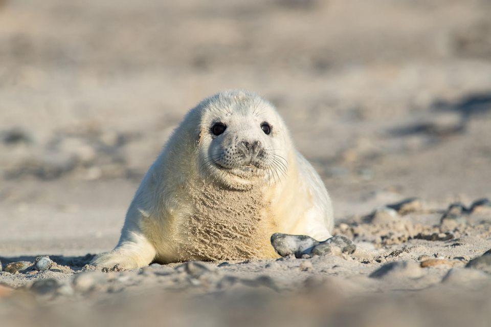 Kegelrobbenbaby auf Helgoland im Sand