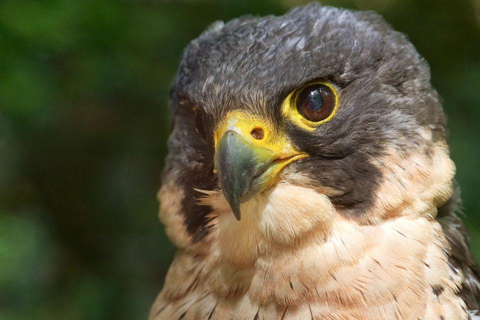 1971 wurde mit dem Wanderfalken erstmals ein Vogel des Jahres gekürt. Bis zu 320 km/h kann der Jäger im Flug erreichen