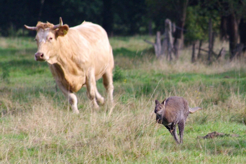 Tierischer Wettlauf: Ein entlaufenes Känguru springt vor einer Kuh über eine Wiese