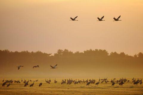 Rastende und fliegende Kraniche bei Sonnenaufgang mit Morgennebel am Günzer See