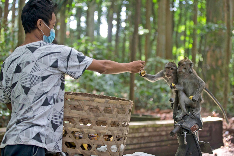 Ein Mann füttert Affen in Indonesien