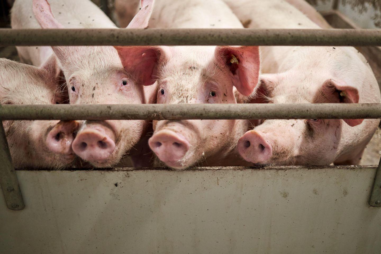 Schweine stehen in einem Stall hinter einer Absperrrung