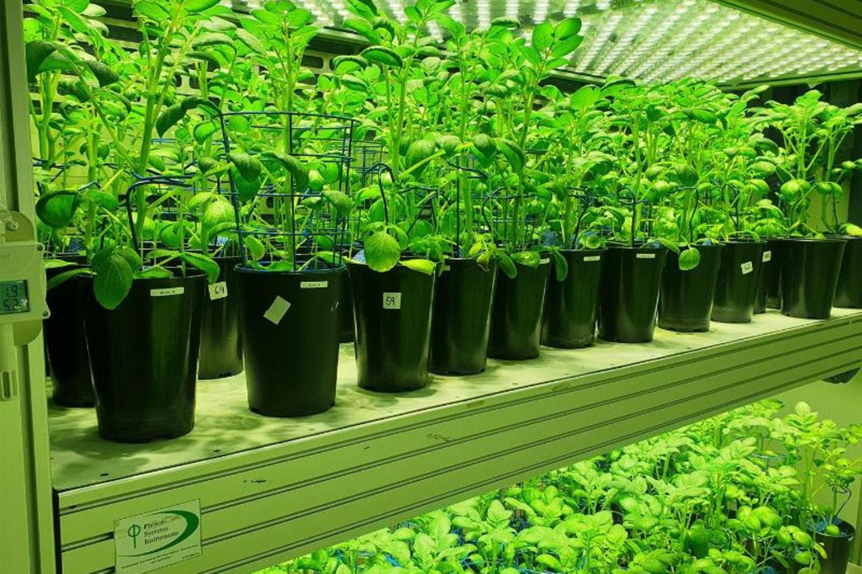 Kartoffelpflanzen werden in einem automatisierten High-Tech-Gewächshaus