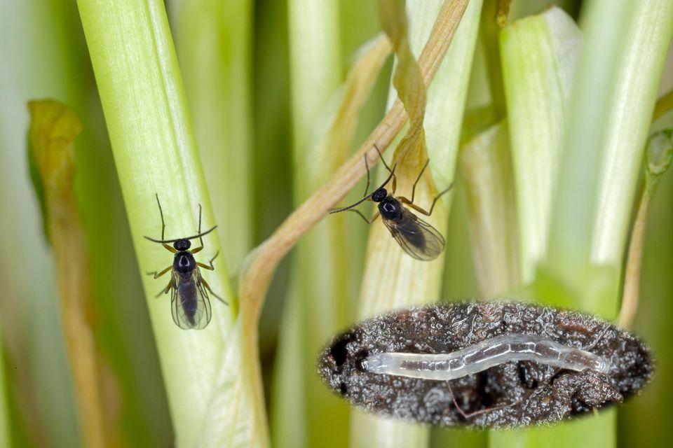 Trauermücken (Sciaridae) und Nahaufnahme einer Larve
