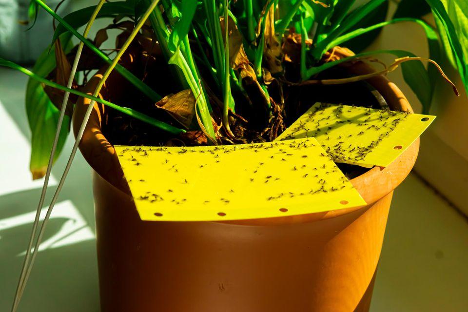 Trauermücken kleben an Gelbtafeln in einem Blumentopf