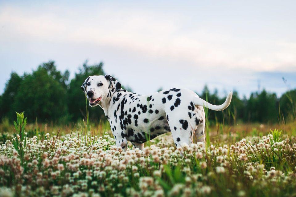 Dalmatiner auf Blumenwiese
