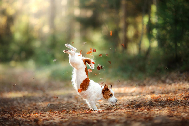 Jack Russell spielt im Laub im Herbst im Wald