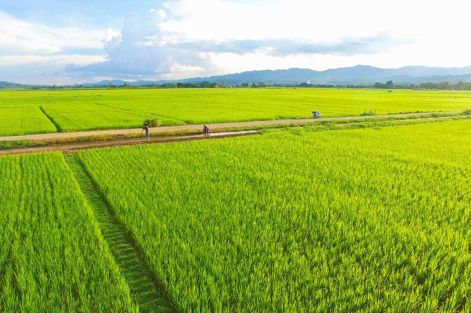 Blick auf ein Reisfeld