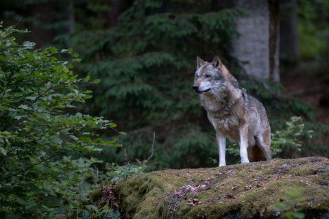 Über 1.000 Wölfe leben in Deutschland. Doch was tut man, wenn man einem begegnet?