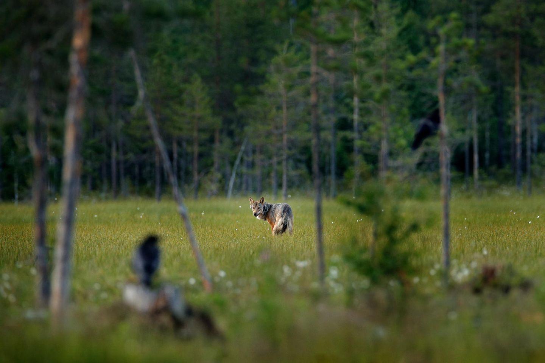 """""""Wölfe und Raben gehören zusammen""""–warum, erklärtdie Wolfsforscherin, Naturliebhaberin und Autodidaktin Elli Radinger im Interview"""