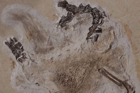 Dino-Fossil Ubirajara jubatus