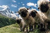 """14.09.2021  """"Zermatt: Diese gesichtslosen Gesellen sind wohl der Inbegriff eines süßen Schafes. Es hat allerdings eine ganze Weile gedauert, bis sie dann auch so standen und alles passte""""  Kamera: Sony alpha 7 R III, Canon EF L 24-70 f4"""