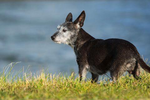 Ein alter Mischlingshund steht im Gras