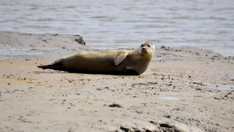 Ein Seehund liegt im Langwarder Groden und sonnt sich