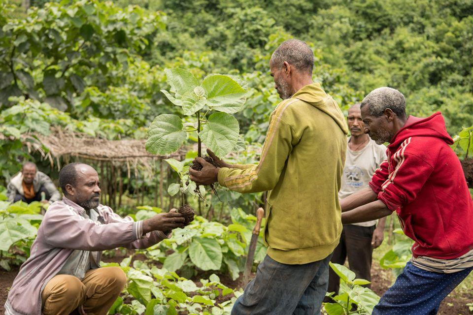 """Mitglieder der partizipativen Waldnutzergruppe Tsige-Genet arbeiten in einer Baumschule und helfen bei der Aufzucht und Verteilung von """"Wanza"""" (Cordia Africana)"""