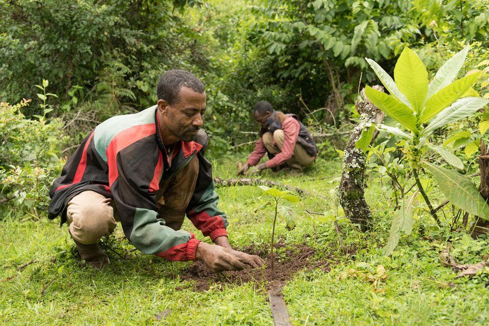 Mitglieder der Waldnutzergruppe Tsige-Genet forsten Lücken im Wald mitCordia africana auf
