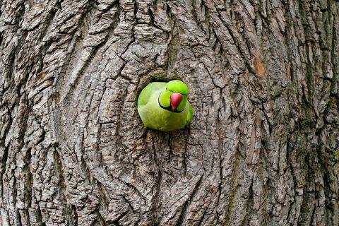 Sensation und Ärgernis: Invasion der bunten Vögel: In Deutschland leben zehntausende wilde Papageien
