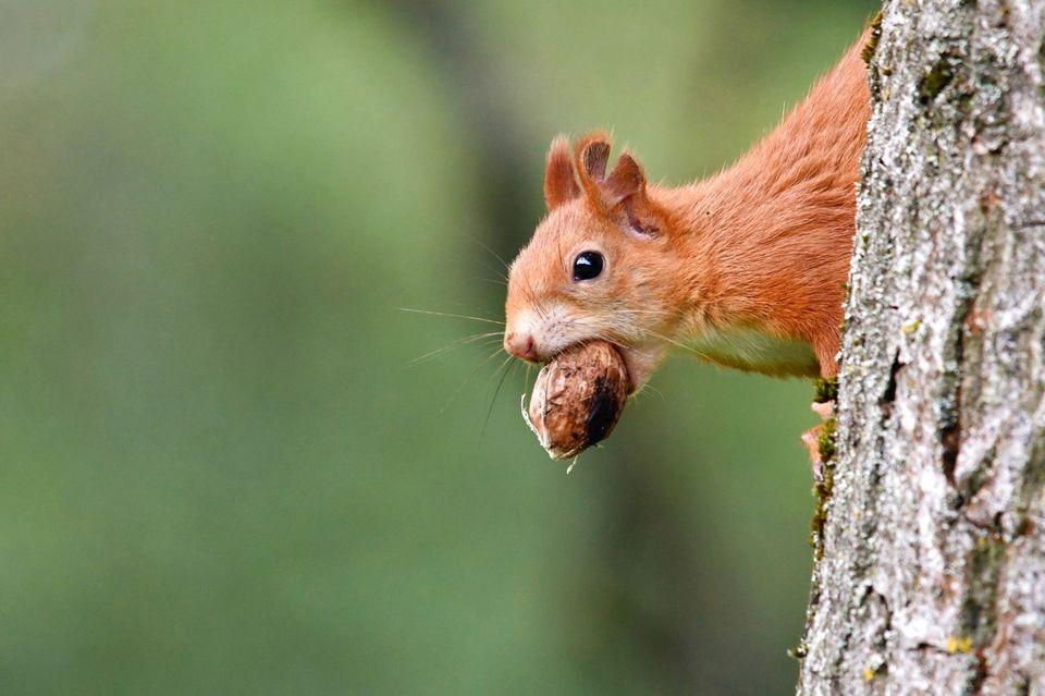 """27.09.2021      """"Jetzt haben die flinken Eichhörnchen Hochsaison, eifrig vergraben sie Nüsse als Wintervorrat. Dafür klettern sie kopfüber den Baumstamm hinunter auf den Boden, aber nicht ohne vorher aufmerksam die Umgebung zu prüfen.""""      Ort:Wien  Kamera:Nikon D 7500, Tele"""